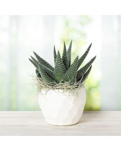 Haworthia Indoor Succulent
