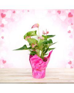 Blushing Pink Anthuriums