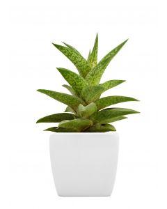 Hello Aloe Potted Plant