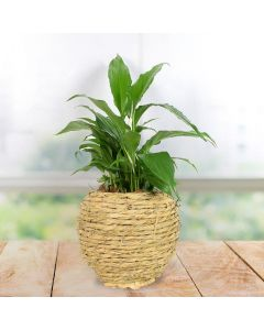 Potted Cast Iron Plant