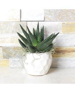 Potted Haworthia Succulent