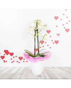 White Mini Phalaenopsis Orchid